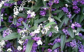 Hardenbergia mixed collection