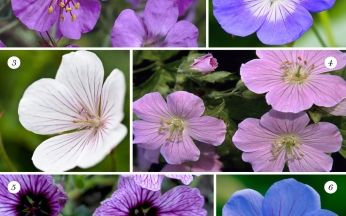 Collection Hardy Geraniums