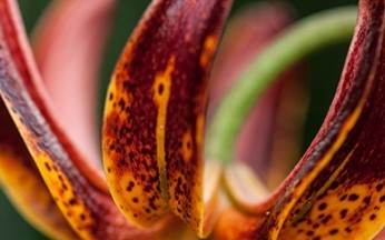 Lilium Martagon Arabian Knight