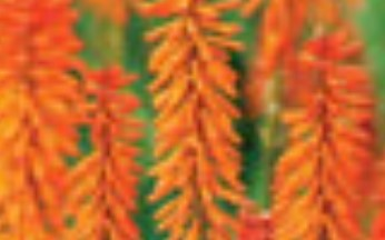 Kniphofia Red Hot Popsicle