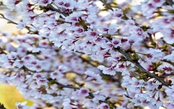 Prunus Kojo No Mai