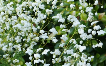 Thalictrum (Meadow Rue) Collection