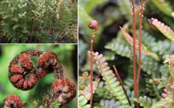 Hardy Evergreen Fern Collection