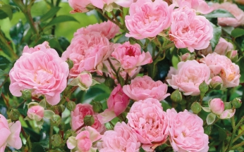 Rosa Drift Rose Collection