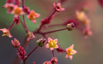 Cotinus (Smoke Bush) coggygria Grace