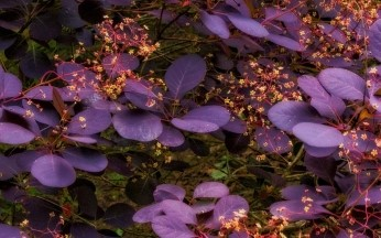 Cotinus (Smoke Bush) coggygria Royal Purple AGM