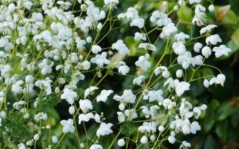 Thalictrum (Meadow Rue) delavayi Splendide White PBR AGM