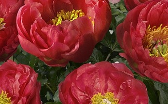 Paeonia Patio Moscow