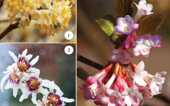 Collection Fragrant Winter Shrubs