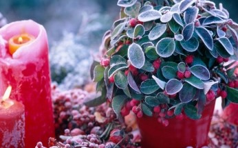 Gaultheria Procumbens collection