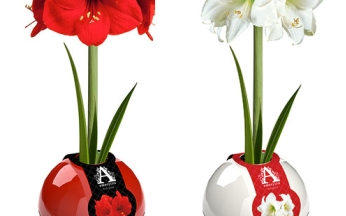Amaryllis Red and White in Round Plastic Ball