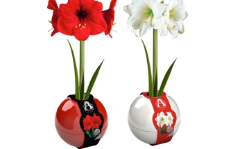 Amaryllis in Red & White Plastic Orb