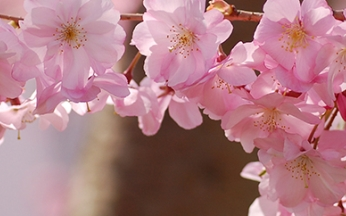 Prunus (Ornamental Cherry) Accolade AGM