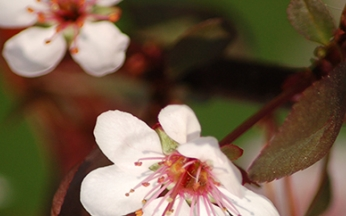 Prunus (Ornamental Cherry) x cistena AGM