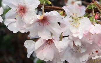Prunus (Ornamental Cherry) x subhirtella Autumnalis
