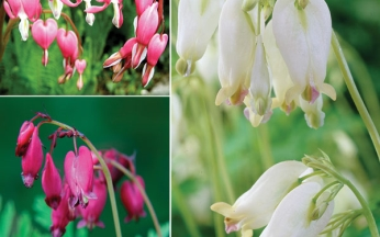 Dicentra (Bleeding Hearts) Collection