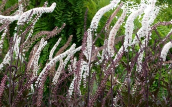 Actaea simplex Prichards Giant