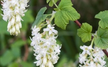 Ribes sanguineum White Icicle AGM