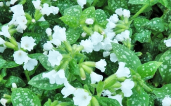 Pulmonaria Sissinghurst White AGM