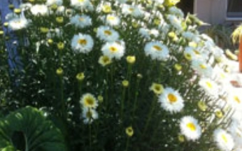 Leucanthemum superbum Real Galaxy