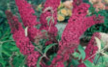 Buddleja davidii Royal Red AGM