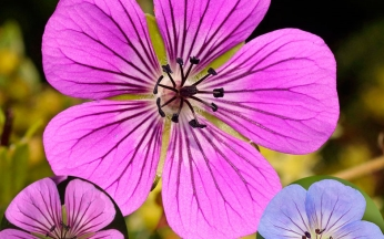 Large Flowered Hardy Geranium Collection