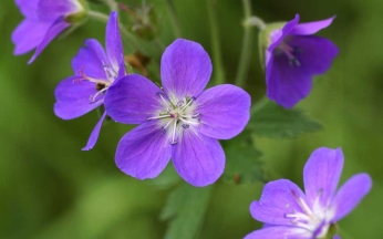 Geranium sylvaticum Mayflower AGM