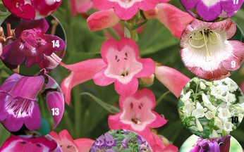 Penstemon Precious Collection