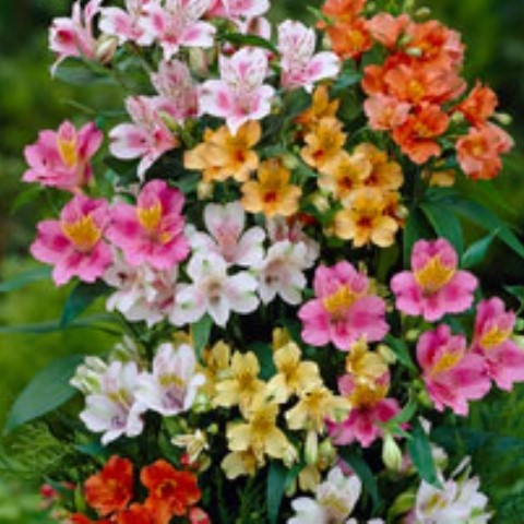 Alstroemeria Ligtu Hybrids Telegraph Garden Shop