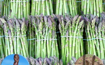 Asparagus Full Season Collection