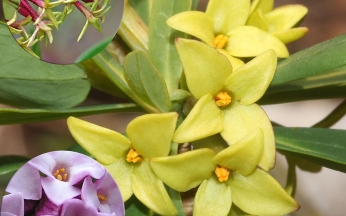 Daphne Unusual Winter Flowering Collection