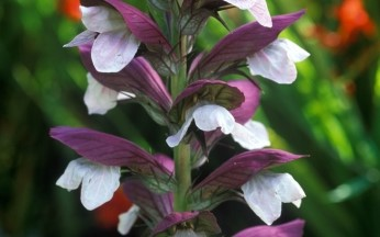 Acanthus (Bears Breeches) spinosus