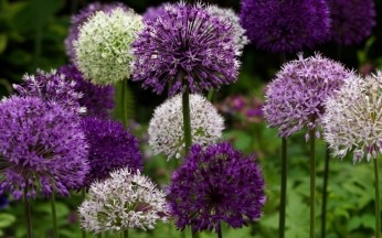 Allium Ultimate Selection