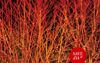 Cornus sanguinea Midwinter Fire