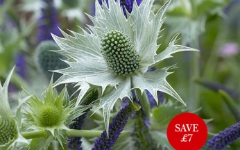 Eryngium (Sea Holly) Miss Willmotts Ghost AGM