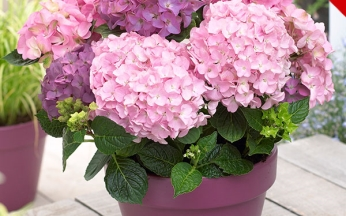NEW Hydrangea 'So Long Rosy'