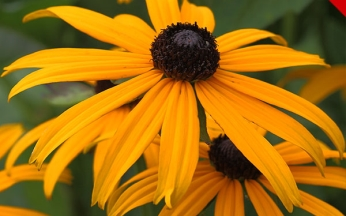 Rudbeckia Goldstrum AGM