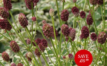 NEW Sanguisorba minor Little Angel