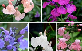 Salvia Collection