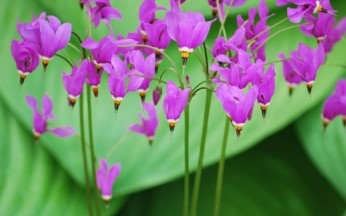 Dodecatheon meadia 'Shooting Star' AGM