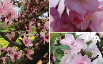 Collection Flowering Cherries