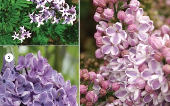 Collection Fragrant Lilacs