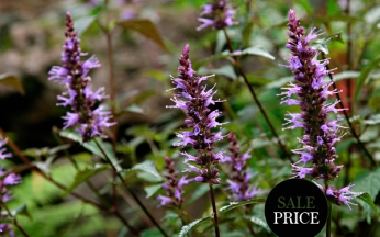 Agastache After Eight