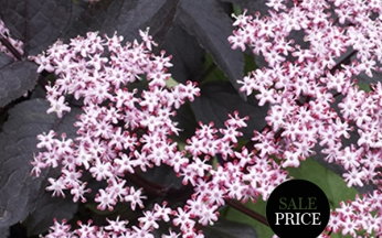 Sambucus nigra f. porphyrophylla Black Tower (PBR)