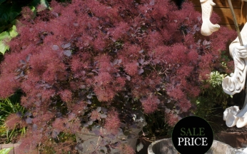 Cotinus (Smoke Bush) Dusky Maiden