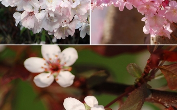 Prunus (Ornamental Cherry) Collection