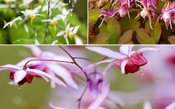 Collection Unusual Epimedium
