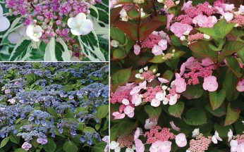 Hydrangea Unusual Selection