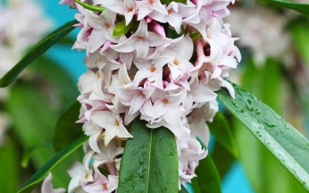 Daphne odora 'Perfume Princess'