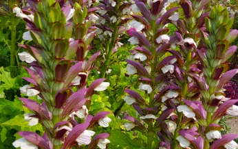 Acanthus (Bears Breeches) mollis 'Morning's Candle'